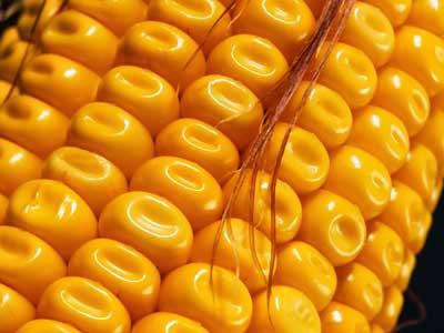 dent-corn