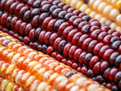 flint-corn
