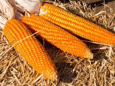 popping-corn